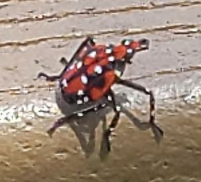 Maturing Spotted Lanternfly Nymph